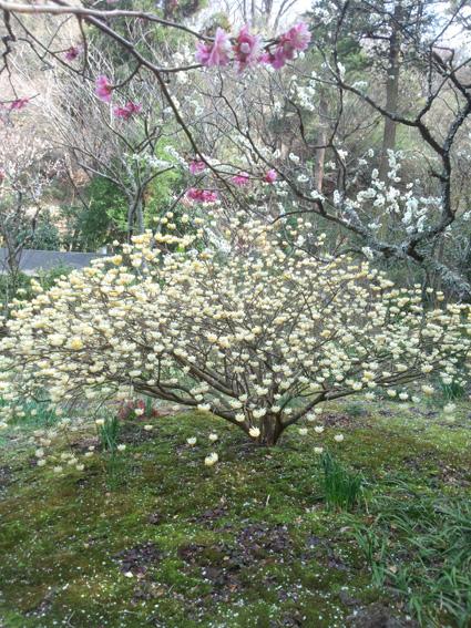 手前に梅、三つ叉、そして桜。東慶寺にて。